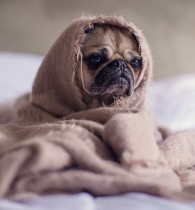 pug dog in blanket