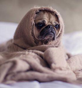 pug dog in blanket